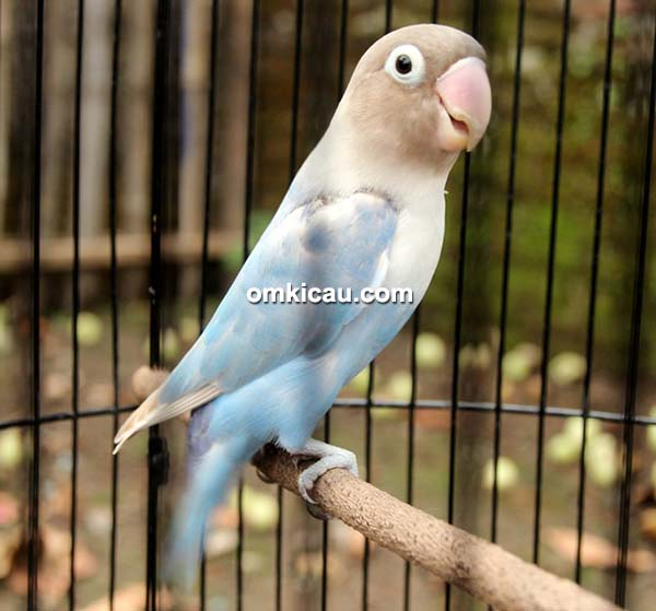 Lovebird New Teroris