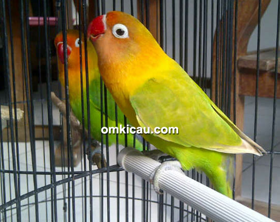 Lovebird Pancasona
