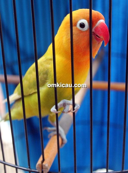 Lovebird Rara