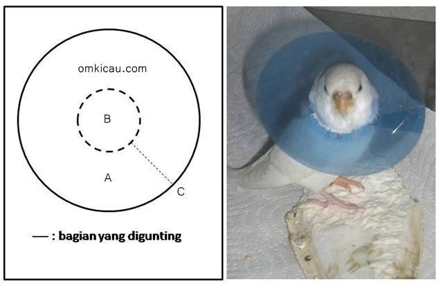 Membuat kerah sederhana untuk burung yang suka cabuti bulunya sendiri
