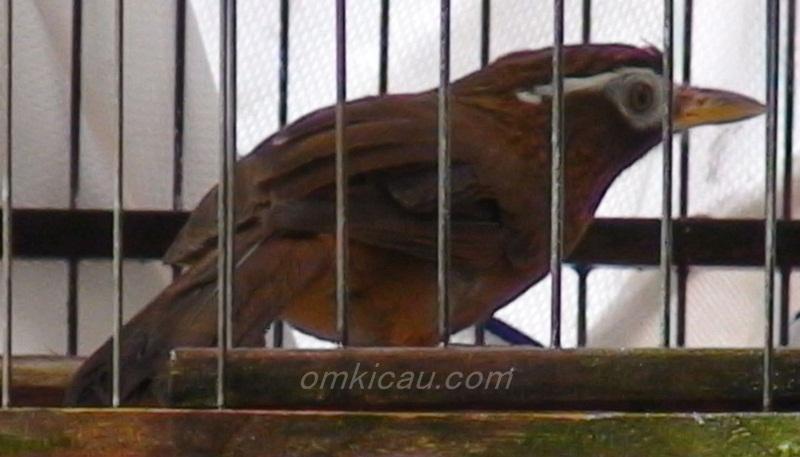 Cara menjinakkan burung hwamei yang masih giras