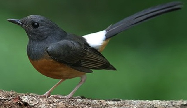 Gambar burung murai batu betina