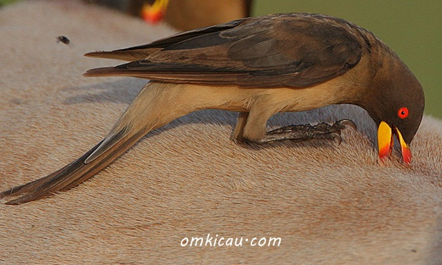 Oxpecker yang dianggap sebagai subfamily dari Sturnidae (Jalak-jalakan)