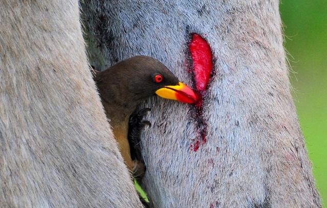 Selain memakan parasit, oxpecker juga akan mengisap darah hewan yang ditungganginya