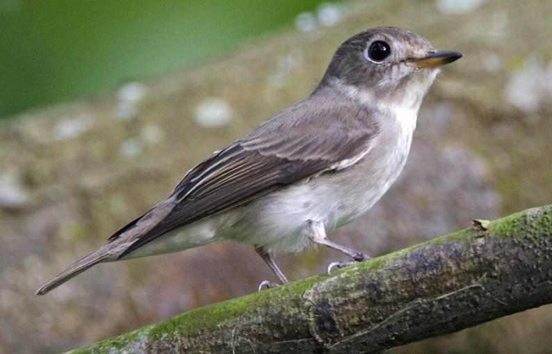 Burung migran yang ditemukan di bagian barat dan tengah Indonesia