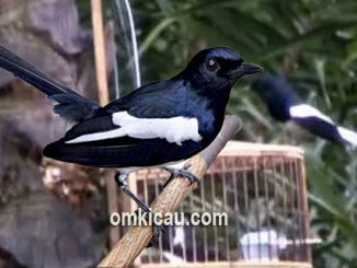 Audio burung kacer pikat untuk memancing bunyi