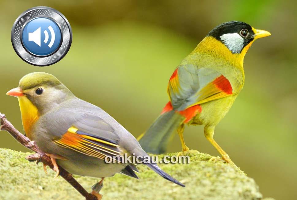 Suara burung robin peking dan pancawarna untuk masteran atau memancing bunyi