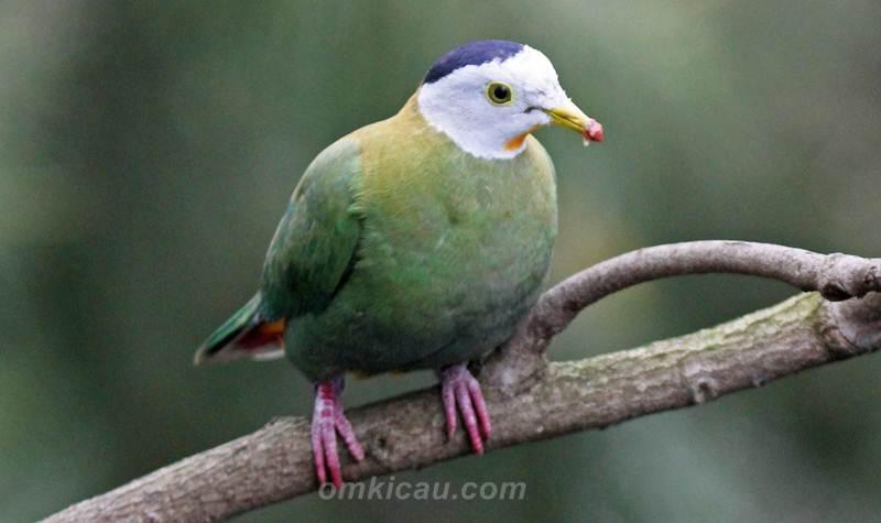 Burung walik kembang yang mempunyai bentuk kepala unik bergaya mohawk