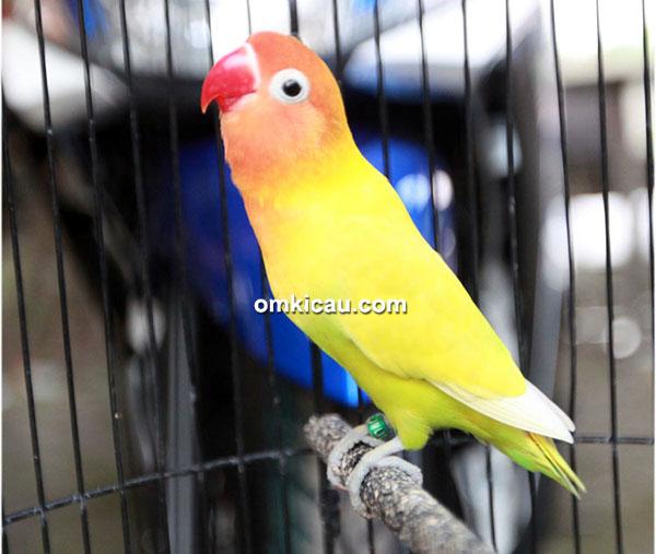 Lovebird Ajeng