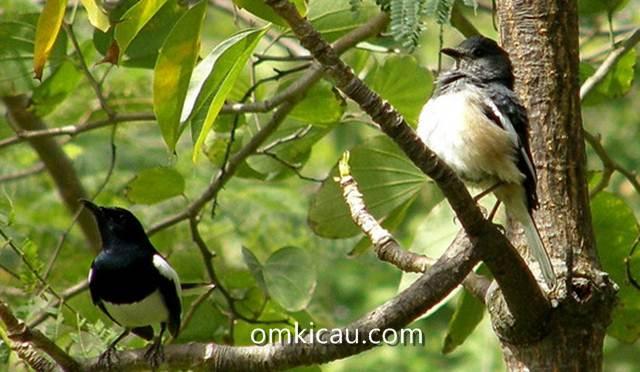 Terapi mengurangi perilaku mbagong pada burung kacer