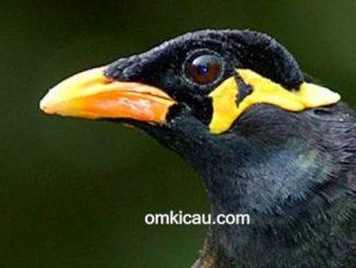 Beberapa fakta unik burung beo