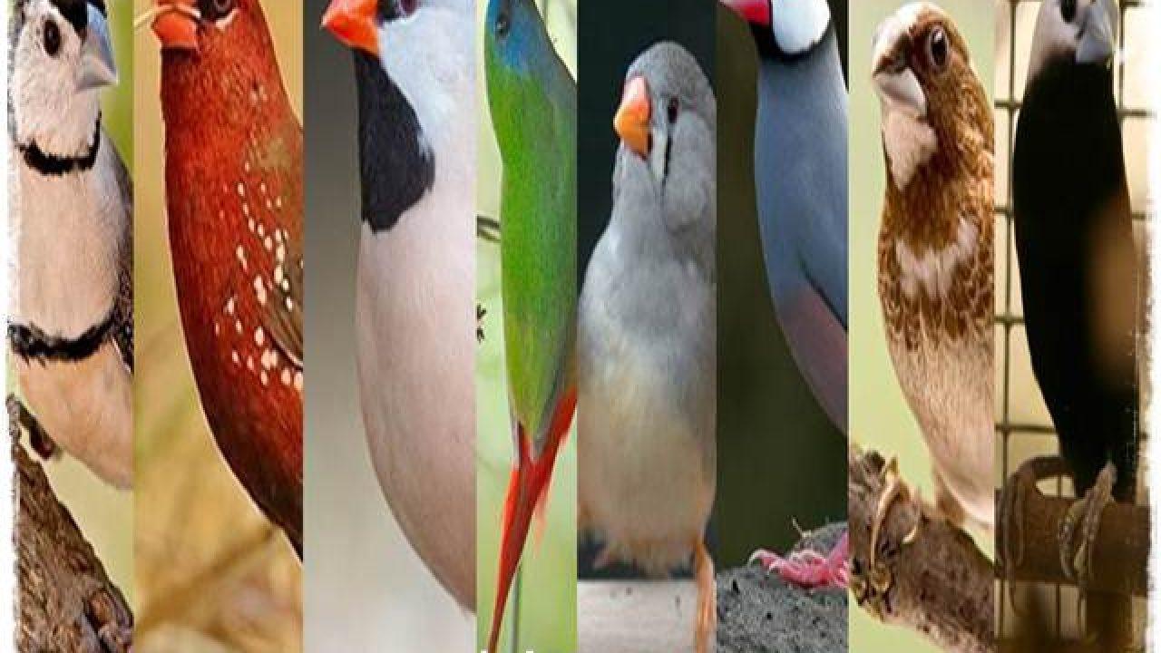 Delapan Jenis Burung Finch Yang Banyak Penggemarnya Om Kicau