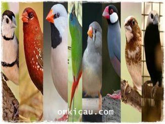 Delapan jenis burung finch yang popular dan banyak dipelihara kicaumania