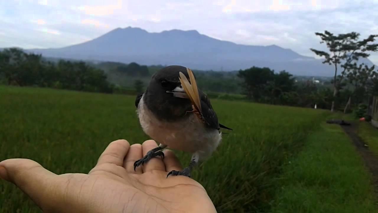 Burung kekep babi yang sudah dilatih terbang bebas (Youtube)