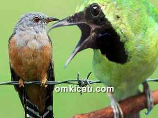 suara wiwik