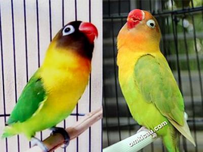 feat memancing ngekek lovebird