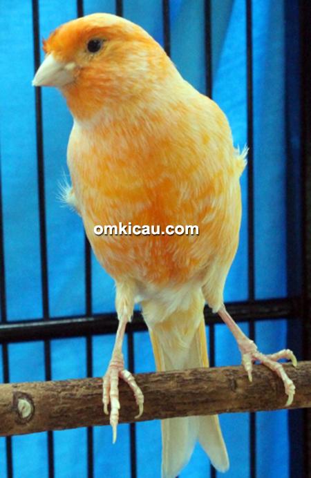 Kenari TC1