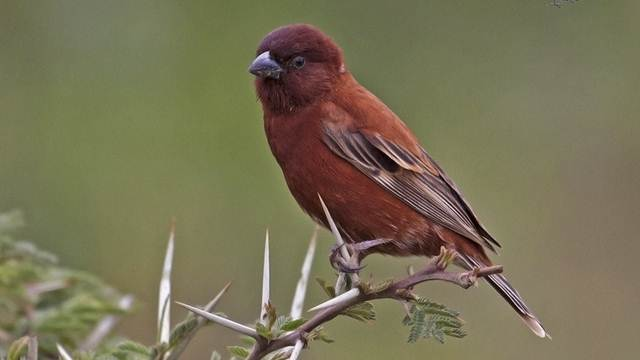 Chestnut sparrow