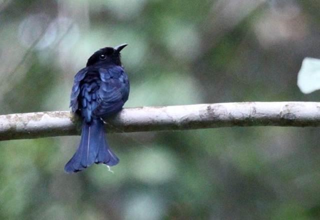 Kedasi maluku atau Moluccan drongo-cuckoo (Surniculus musschenbroeki)