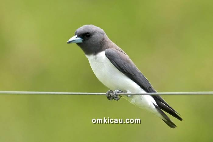 Burung kekep babi atau White-breasted woodswallow