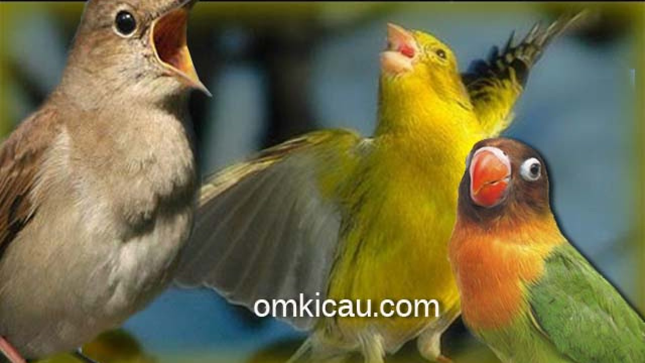 Kombinasi Mantap Suara Nightingale Kenari Dan Lovebird Untuk Masteran Om Kicau