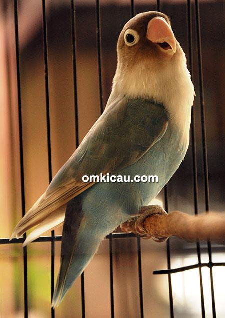 Lovebird Loly