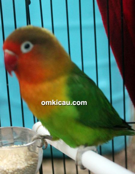 Lovebird Azib