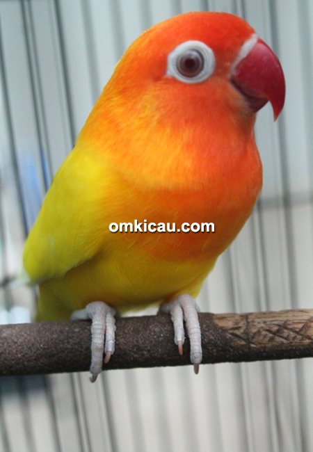 Lovebird Montok, jenis lutino mata merah