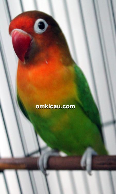 Lovebird Rahel