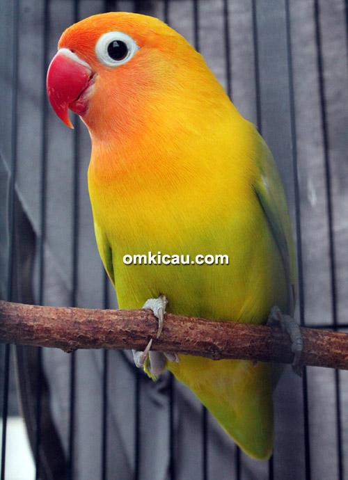 Lovebird Reza