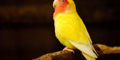 Lovebird yang kegemukan