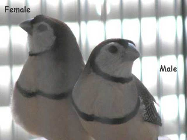 Perbedaan jantan (kanan) dan betina