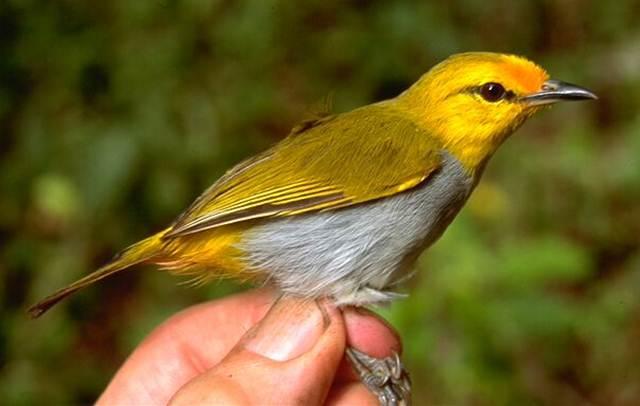 Pleci Kepala Emas Wallacea Burung Endemik NTB Bersuara