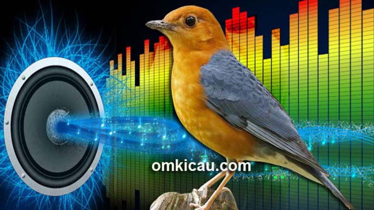 6 Audio Mp3 Untuk Memancing Anis Merah Agar Bersuara Ngeplong Om