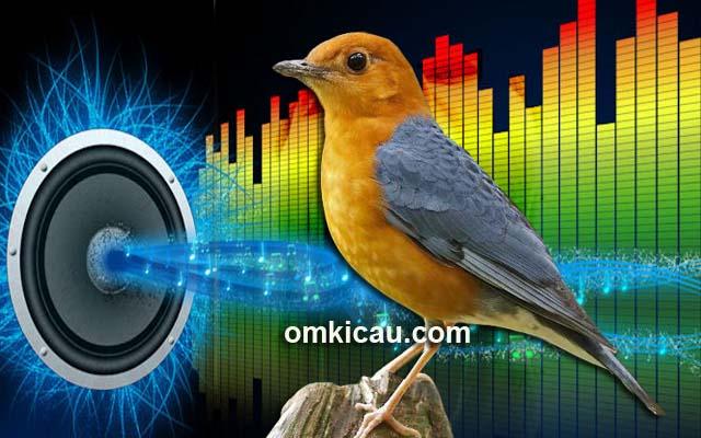 Audio burung anis merah ngeplong untuk memancing bunyi