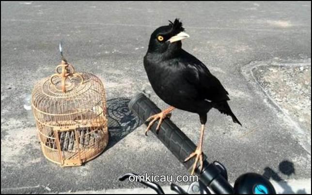 Burung jalak kebo banyak dipelihara karena mudah jinak dan pandai berkicau