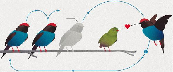 Burung jantan akan melakukan tarian uniknya secara bergantian untuk memikat si betina