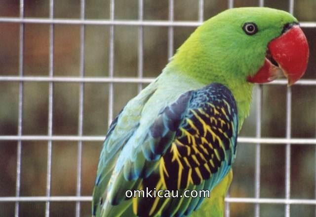 Betet-kelapa paruh besar (Great-billed parrot)
