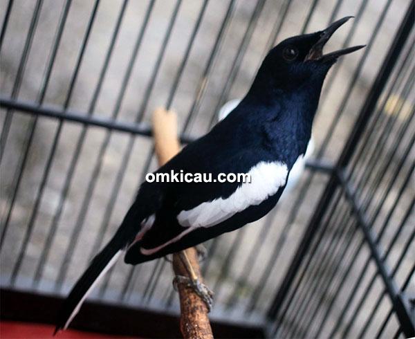 kacer Black Eagle