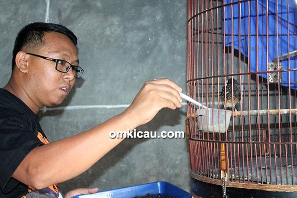 Breeding murai Kings Robyn BF Bogor