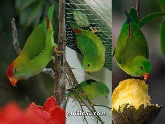 Mengenal tiga jenis burung serindit dari luar dan suaranya