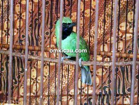 Cucak hijau Haman