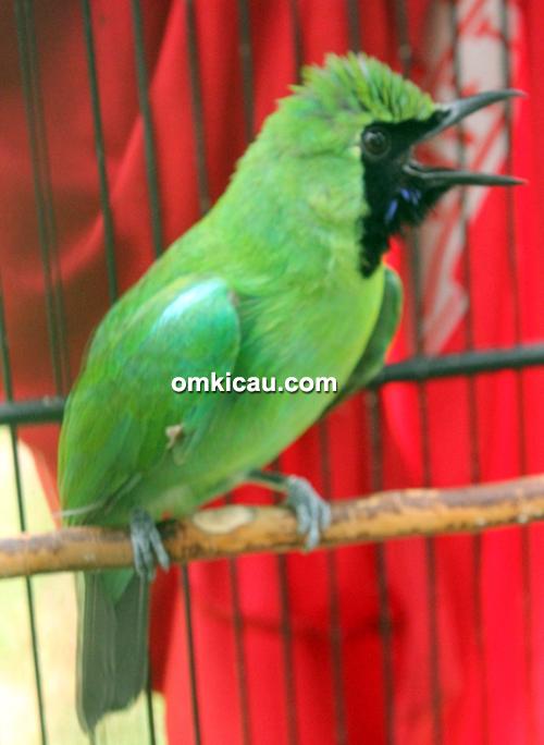 Cucak hijau Kenzo