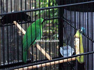 Cucak hijau New Rimba