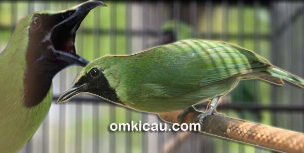 Rawatan maksimal, burung pun akan tampil lebih maksimal