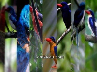 Eksotisme burung cekakak-pita endemik Indonesia