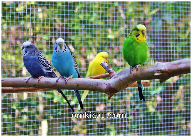 Membuat kandang aviary cantik untuk burung