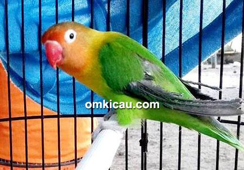 Lovebird Cantik