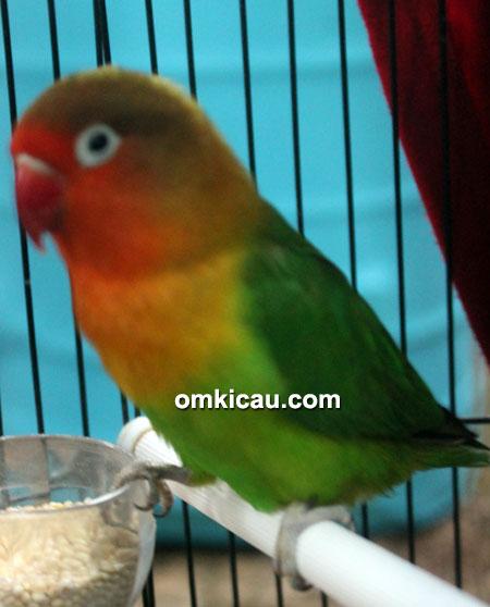 Lovebird Azib milik Om Ipul
