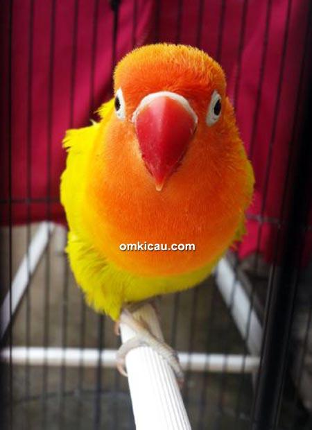 Lovebird Conello